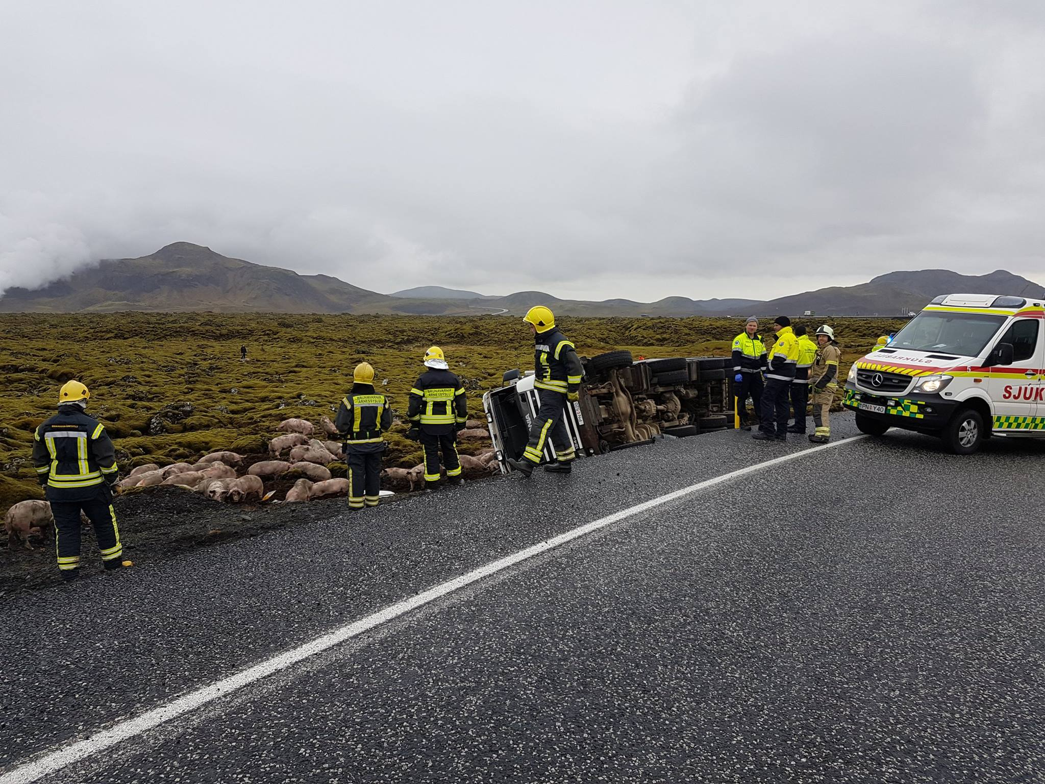 114 Pigs In A Car Crash In South Iceland