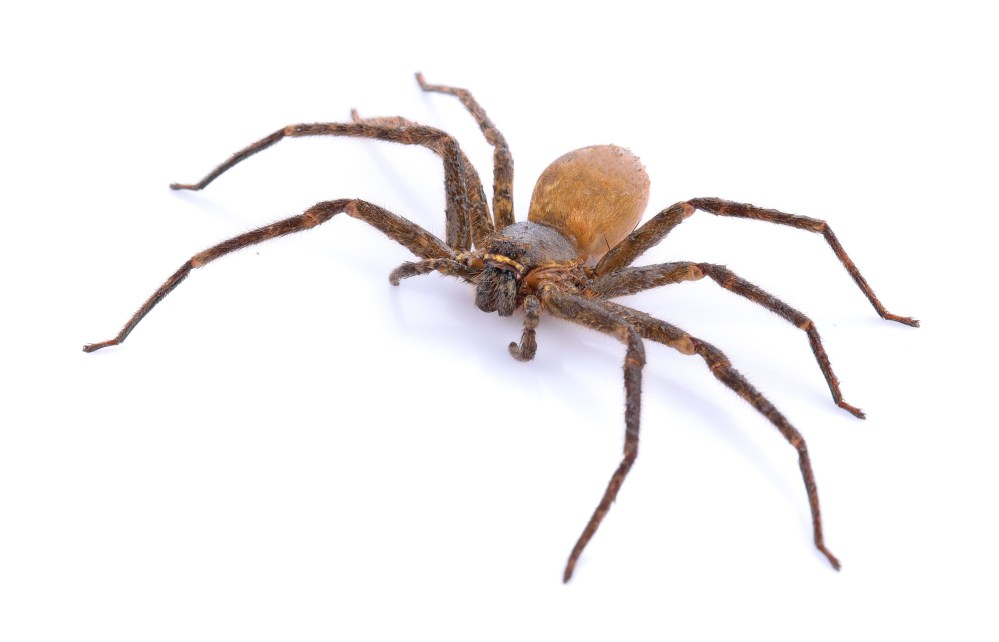 Ask A Biologist: Why Are There No Big Spiders In Iceland?