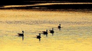 Geese in setting sun