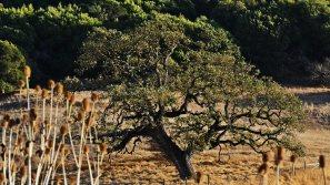 Sonoma County Oak