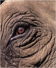 Elefantøye (New York Times)
