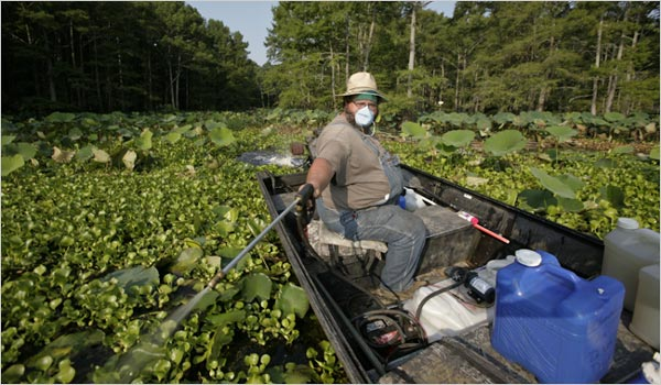 Spraying Salvinia molesta on Caddo Lake - NY Times photo by Michael Stravato
