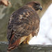 Rat Poison Is Found in Bodies of 3 Dead Hawks