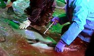 A still image from video shot of the dolphin roundup and slaughter near Taiji, Japan, by the dolphin-protection group Atlanticblue.de.