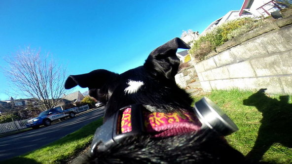 Mitzi takes theWhistle Activity Monitor out for a spin.