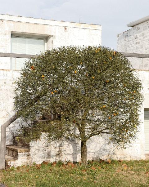 A hardy orange tree flanks Oak Spring's library, designed by Edward Larrabee Barnes.