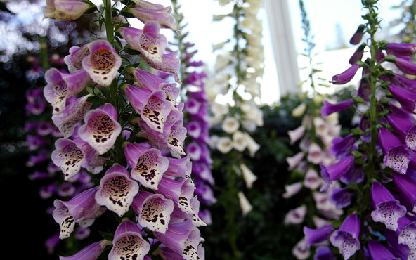 Digoxin, a popular heart drug, is derived from digitalis, an extract of the foxglove plant.