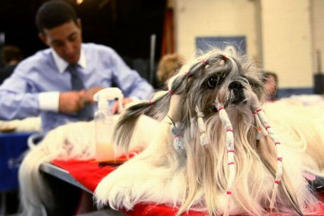 Dogs Who Were Terribly Let Down By Their Groomers (11)