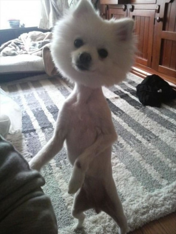 Dogs Who Were Terribly Let Down By Their Groomers (5)