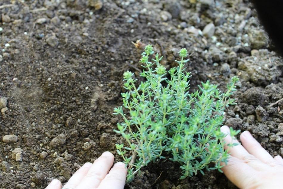 (c) Grashüpfer, Gemüsebeet - einsetzen