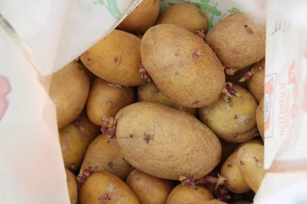 (c) Grashüpfer, Kartoffeln in Kübeln