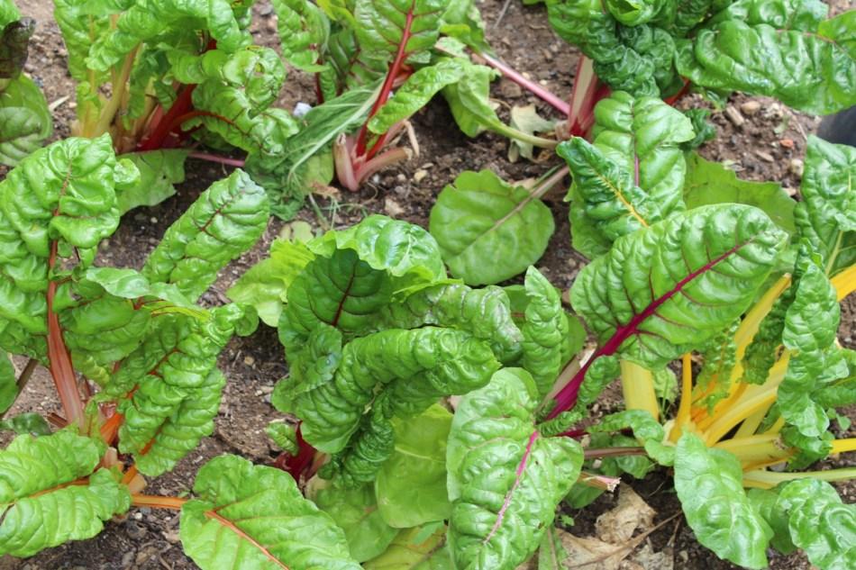 (c) Grashüpfer, Gemüsebeet, Gemüseernte, Mangold