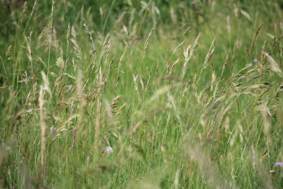 (c) Grashüpfer, Gräserpollen, Wiese
