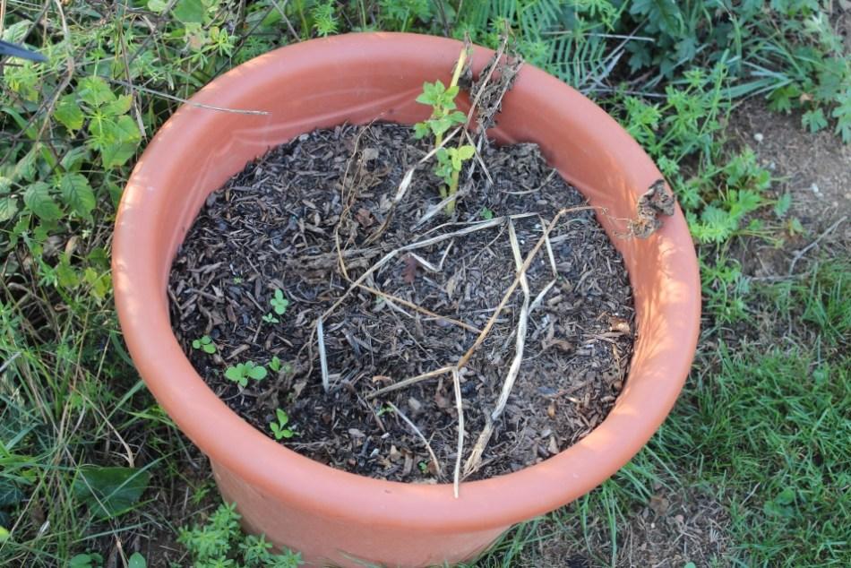 (c) Grashüpfer, Kartoffeln im Kübel, zur Ernte bereit