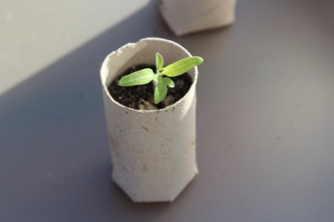 (c) Grashüpfer, umgesetzte Jungpflanze