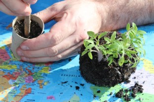 Sämlinge vereinzeln - Jungpflanzen in WC-Rollen umpflanzen