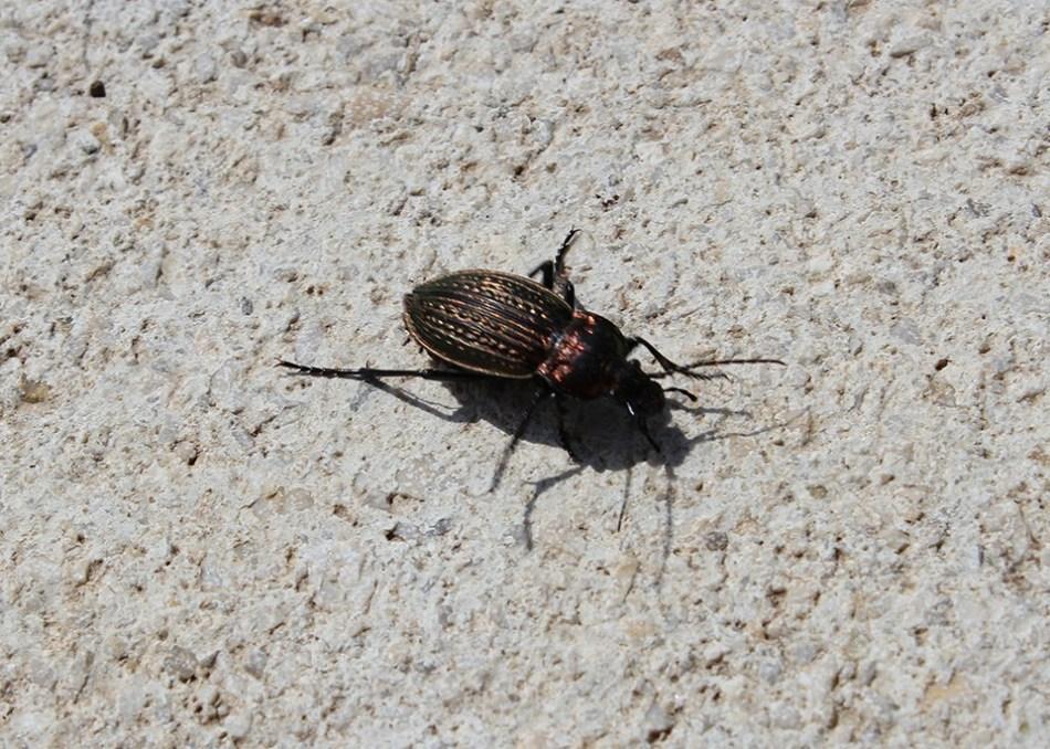 Insektenfreundlicher Garten: Käfer