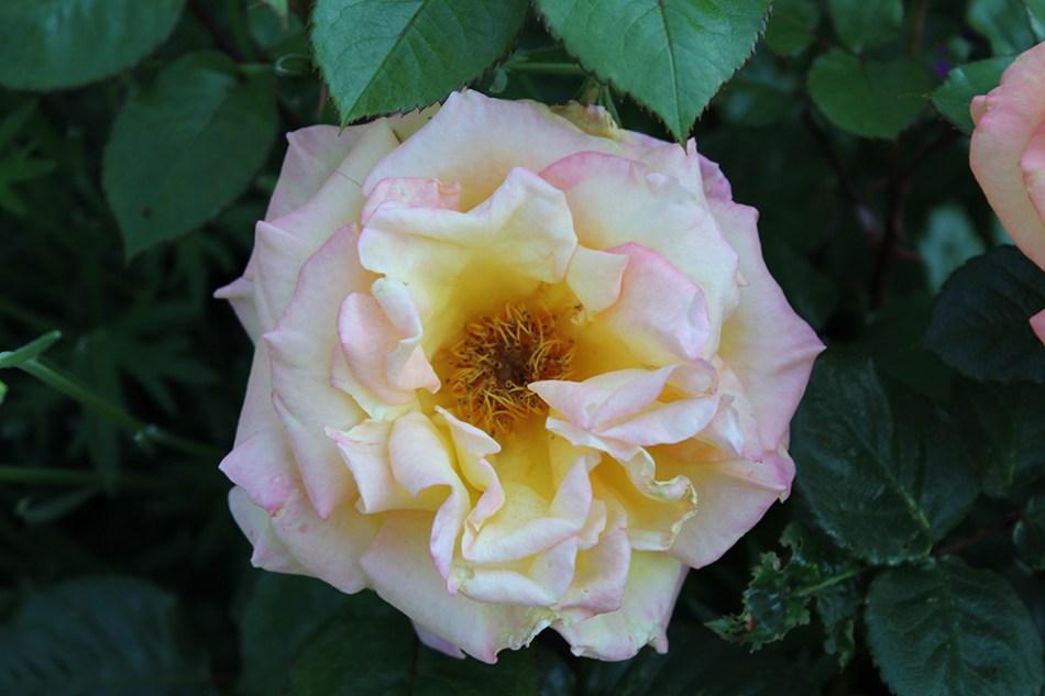 Rose mit Staubblättern
