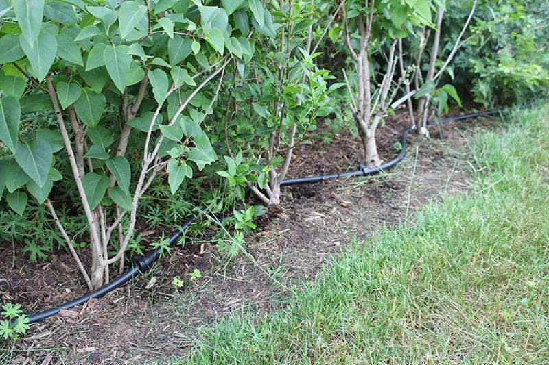 Tropfschlauch im Garten