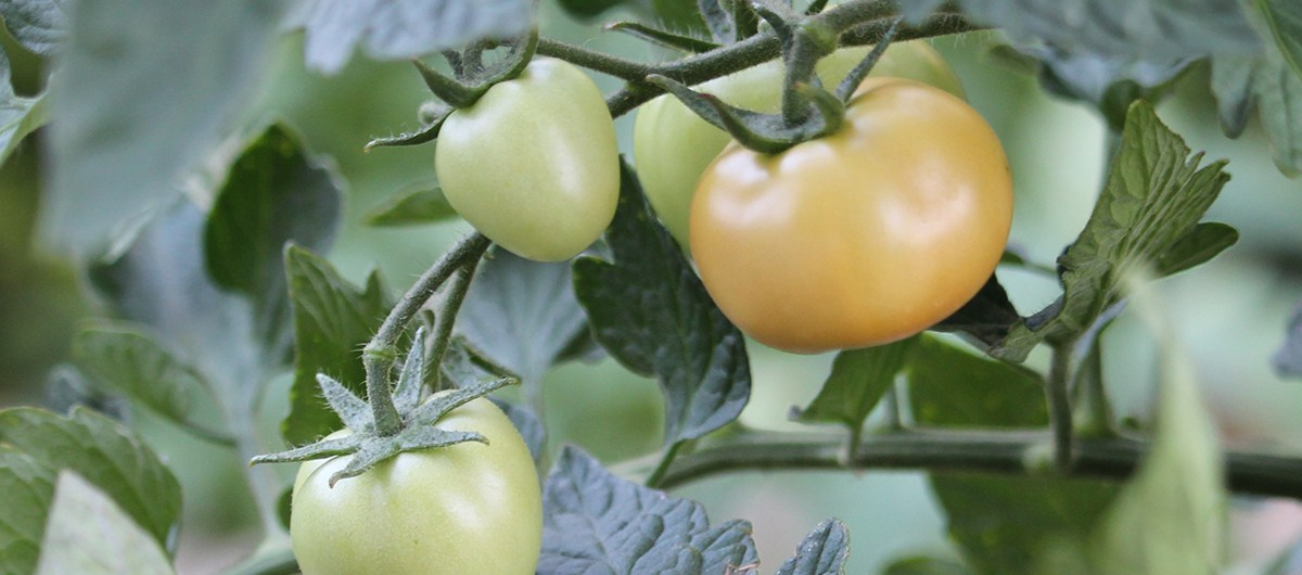 (c) Grashüpfer, Tomaten