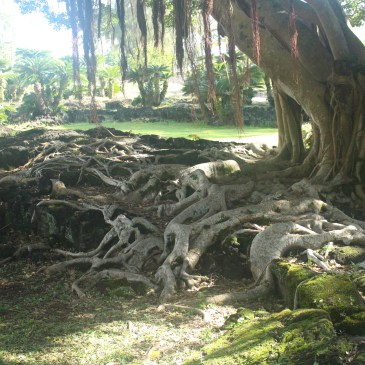 A photo of a tree with large roots growing over green mossy rocks. Brown tendrils hang down from the tree; in the background are short dark green palm trees. Photo by Lindsay Ryan.