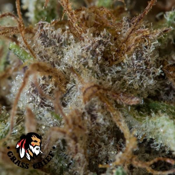 blue coma 6 grass chief