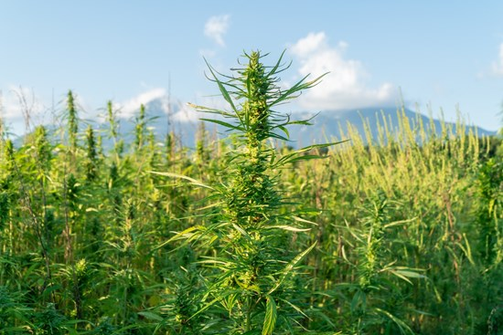 Cannot view this image? Visit: https://i2.wp.com/grassnews.net/wp-content/uploads/2020/10/paog-and-pura-announce-free-hemp-seed-giveaway-to-promote-cbd-and-hemp-awareness.jpg?w=696&ssl=1