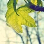 light green leaf