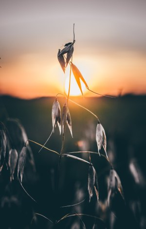 dead seed pods with sunset