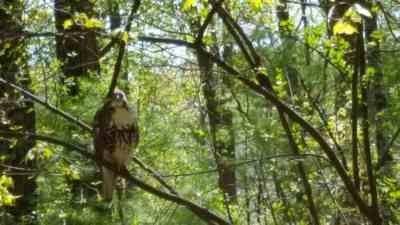 Lady Hawk