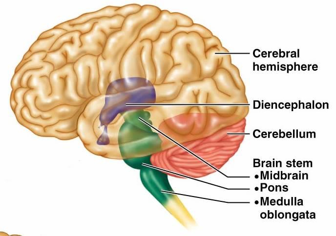 cerebel, creier, creierul reptilian,