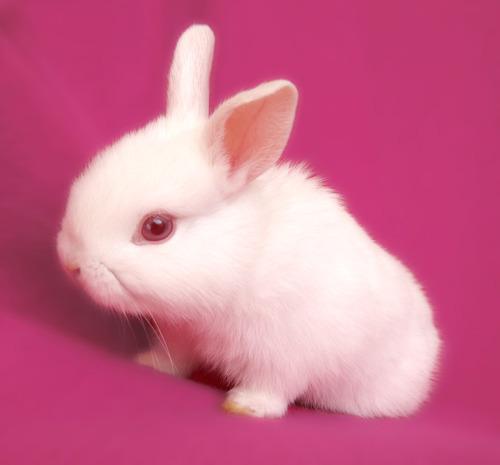 è un coniglio un roditore?