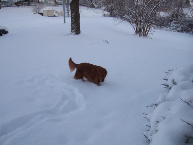 Photo of my golden retriever walking in deep snow in my front yard (when I lived in Kansas City, Missouri - this would be about 2005).