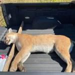 Mountain lion found dead after struck by car near Fullerton 💥😭😭💥