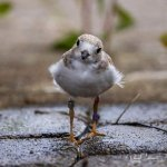 Rare piping plover chick found dead at Maumee Bay State Park 💥😭😭💥