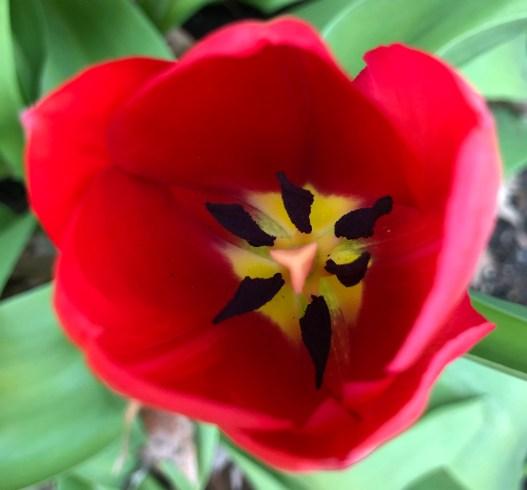 Tulip Crop 04 18 19