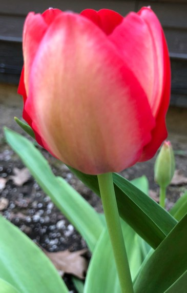 Tulip Side view