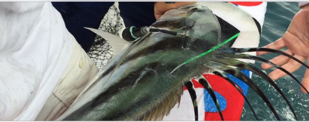 Roosterfish-tagged-First-Ever