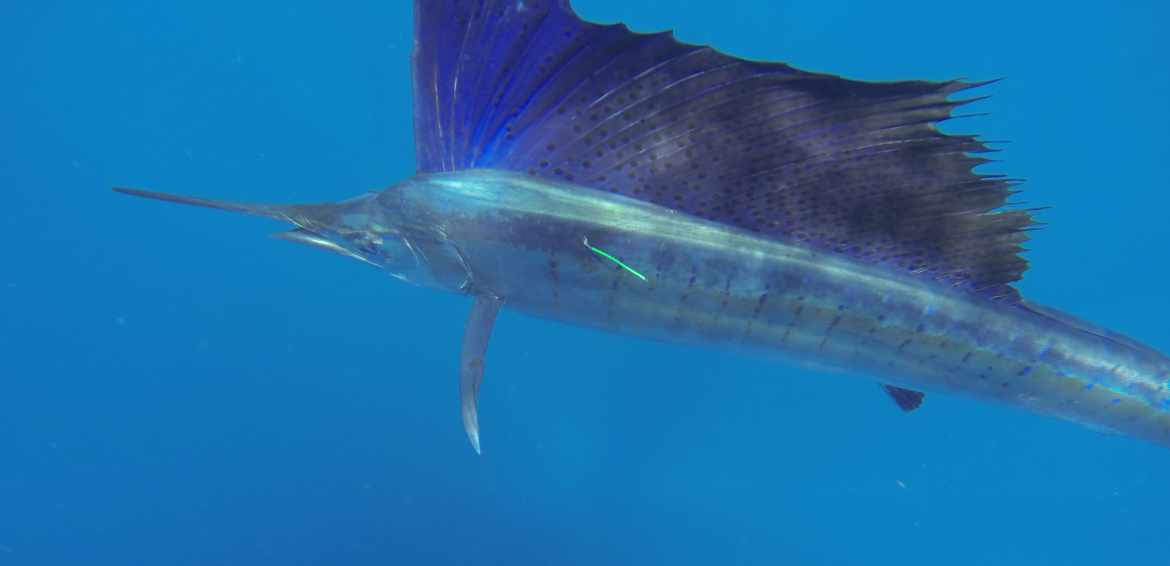 Sailfish-Gray FishTag Research