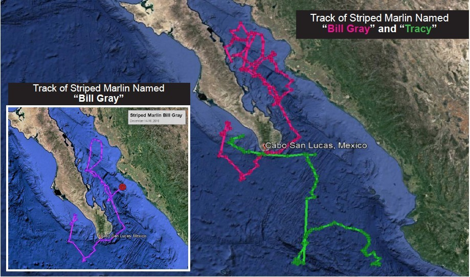 Movement Track of Striped Marlin