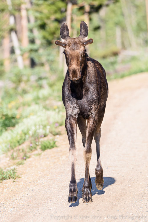 Young Bull Moose On The Move