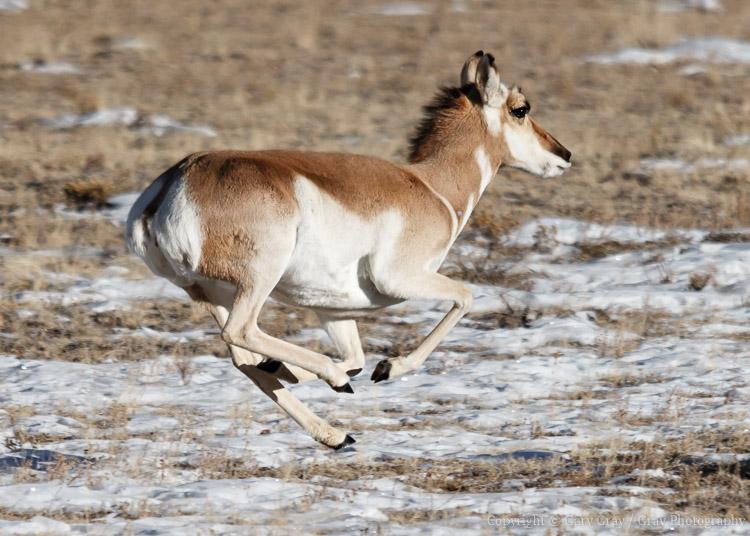 Female pronghorn running at full speed