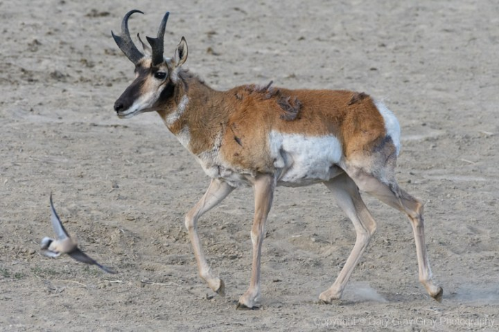 Pronghorn Bull With A Surprise Visitor
