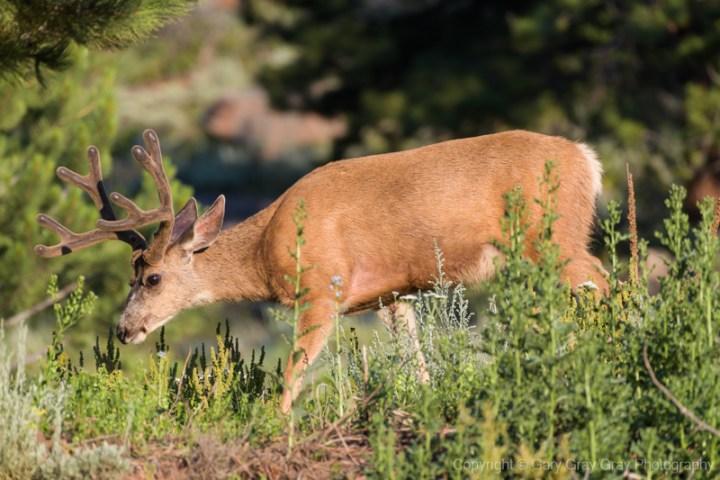 Colorado Mule Deer Buck