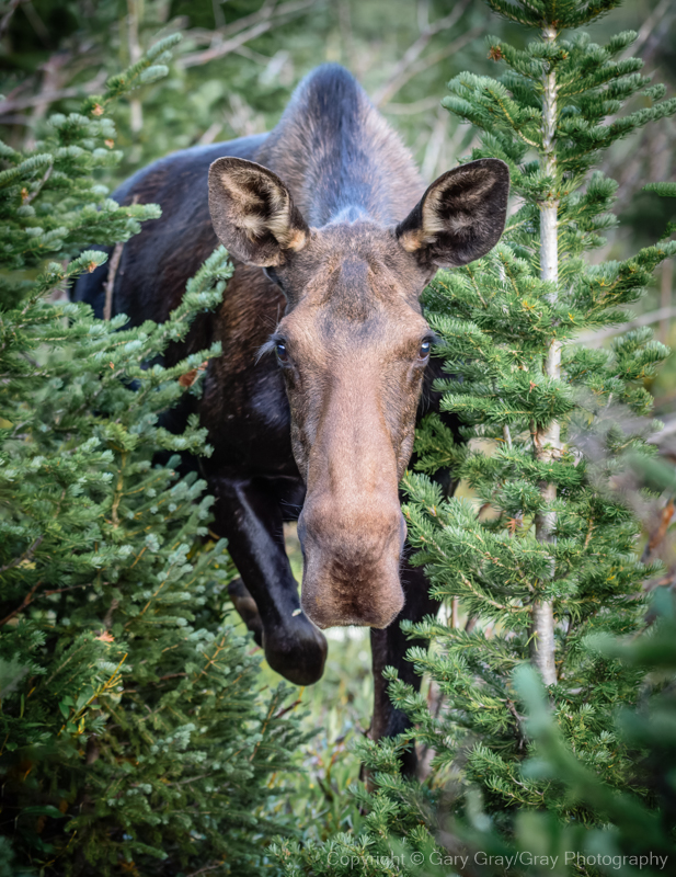 Moose Cow, up close and personal