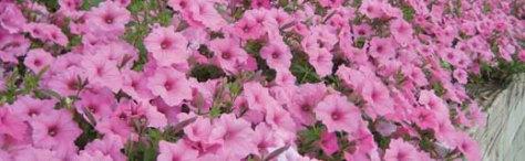 annuals-petunias1