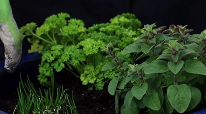 Planting Herbs in Containers for Beginners