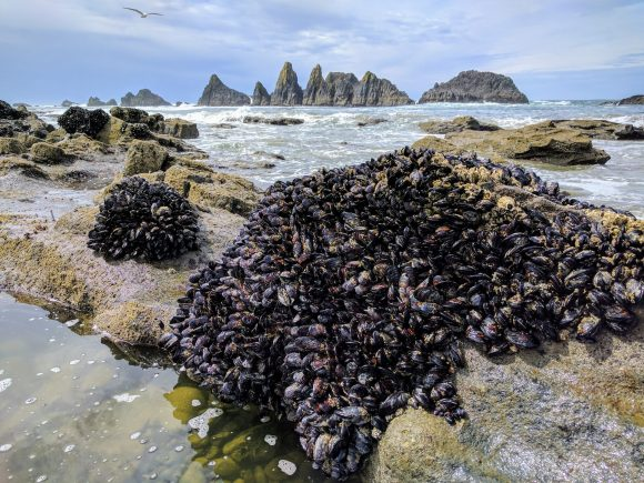 Mussel Beds During Low Tide, Seal Rock