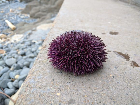 Sea urchin picked by kids at the Cobble Beach