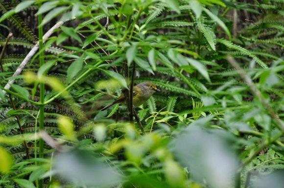 Florida Birdwatching: Corkscrew Swamp. Warbler